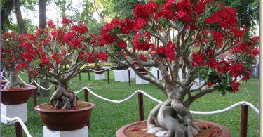 As rosas-do-deserto , podem manter-se floridas durante o ano todo. No entanto, em regiões de clima temperado pode acontecer de perderem as folhas e entrarem em dormência durante o inverno