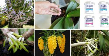 Adubação para orquídeas: muitos são os equívocos e dúvidas no que se refere à adubação de orquídeas. Estes equívocos e dúvidas referem-se, principalmente